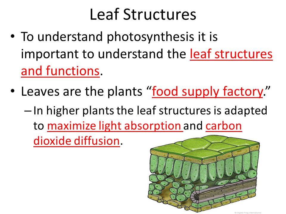 structures of photosynthesis Leaves – the main photosynthetic organs in a plant they are adapted to carry out photosynthesis efficiently how are the physical structures.