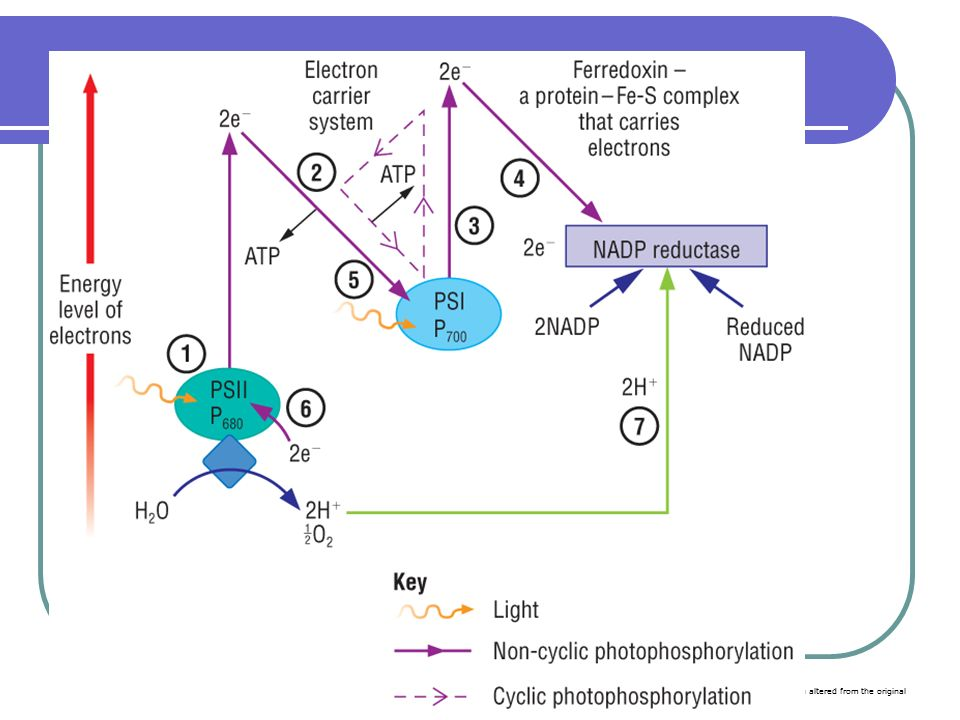light dependent reactions essay In this lesson, we'll learn how electrons get excited during the light-dependent reactions of photosynthesis, jumping off photosystem reaction.