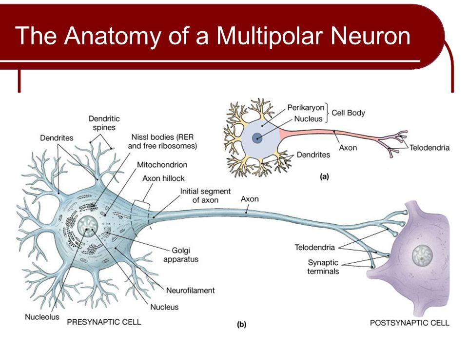 Charmant Anatomie Eines Multipolaren Neuron Galerie - Menschliche ...