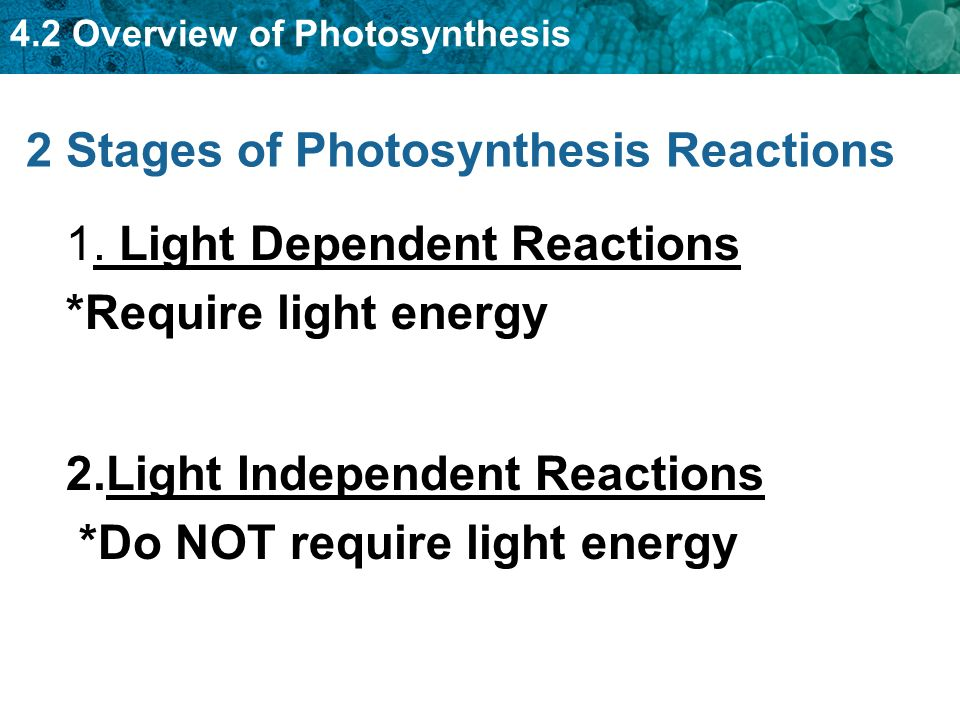 the light dependent reactions of photosynthesis essay In the light-dependent reactions of photosynthesis, the energy from light propels the electrons from a photosystem into a high-energy state in plants, there are two photosystems , aptly named photosystem i and photosystem ii, located in the thylakoid membrane of the chloroplast.