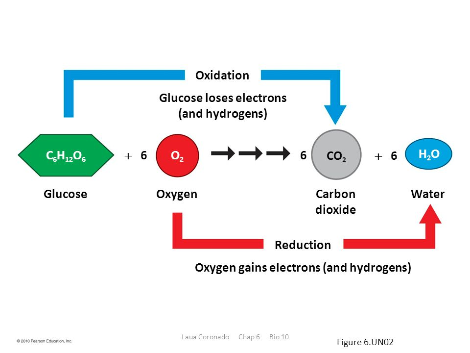 Cellular Respiration: Obtaining Energy from Food - ppt download