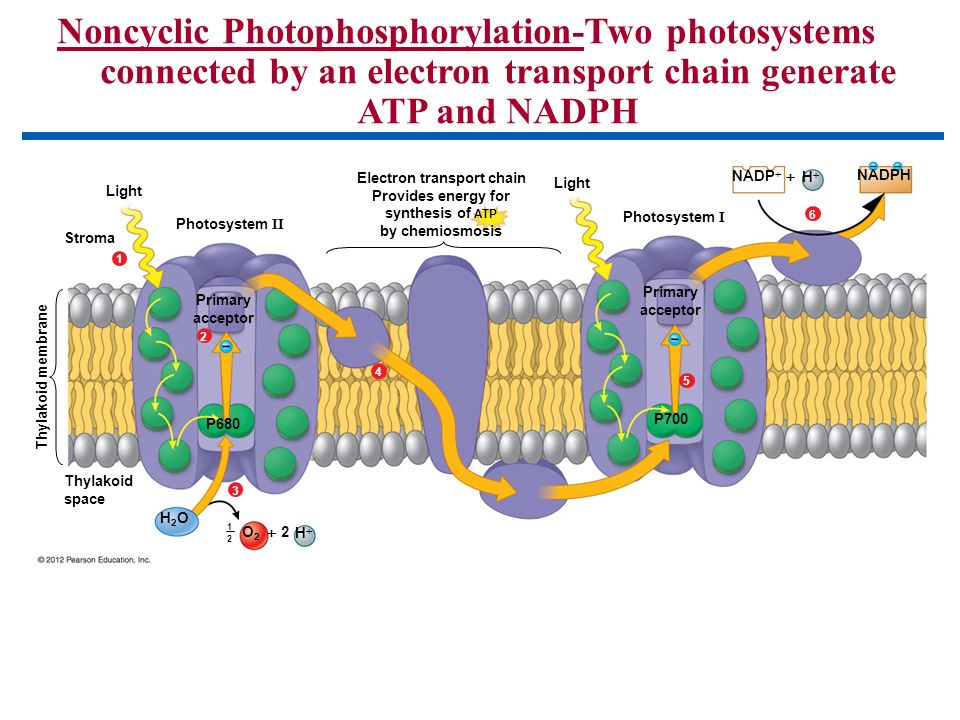 the electron transport chain Answer to the electron transport chain (etc), or respiratory chain, is linked to proton movement and atp synthesis select the sta.