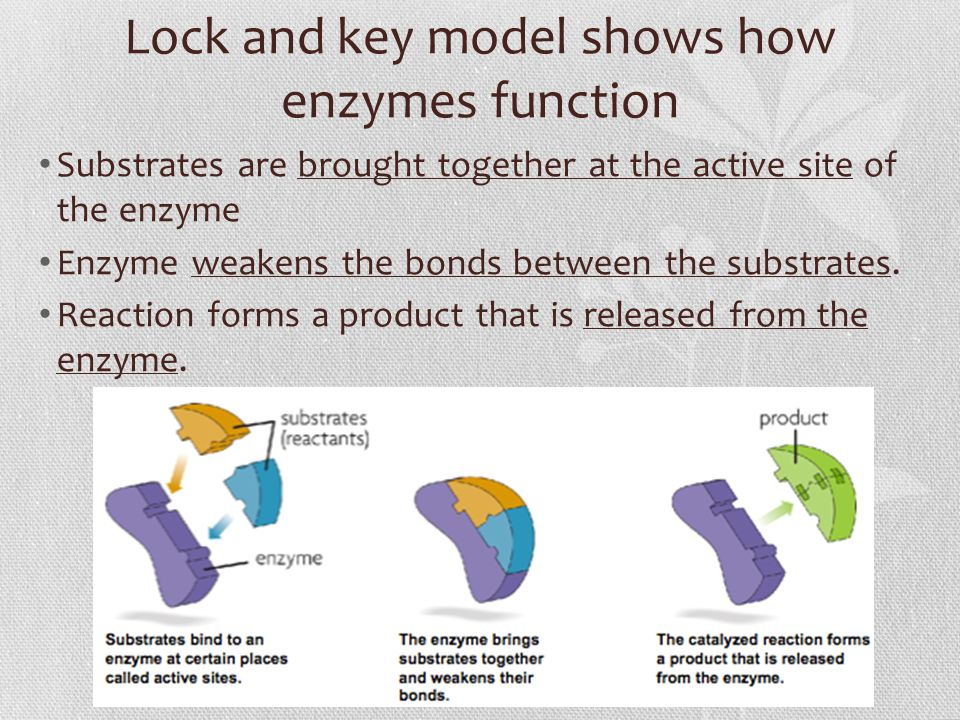 Lock and key model shows how enzymes function