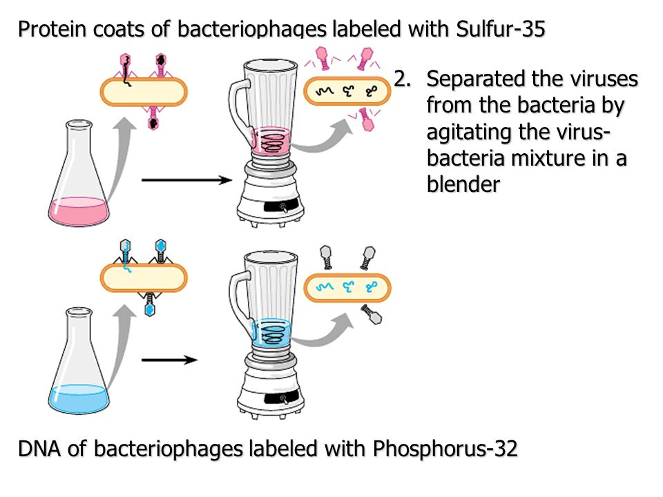 Protein coats of bacteriophages labeled with Sulfur-35