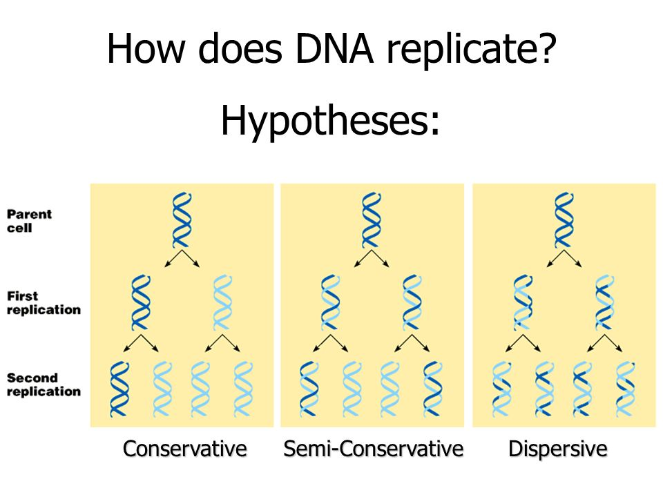 How does DNA replicate Hypotheses: Conservative Semi-Conservative