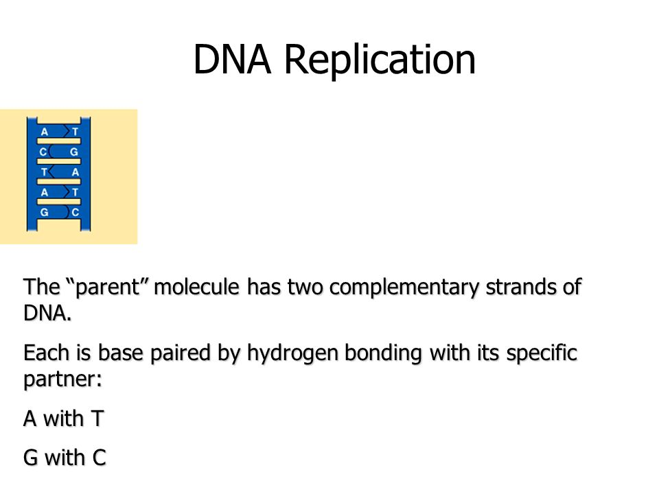DNA Replication The parent molecule has two complementary strands of DNA. Each is base paired by hydrogen bonding with its specific partner:
