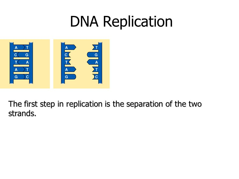 DNA Replication The first step in replication is the separation of the two strands.