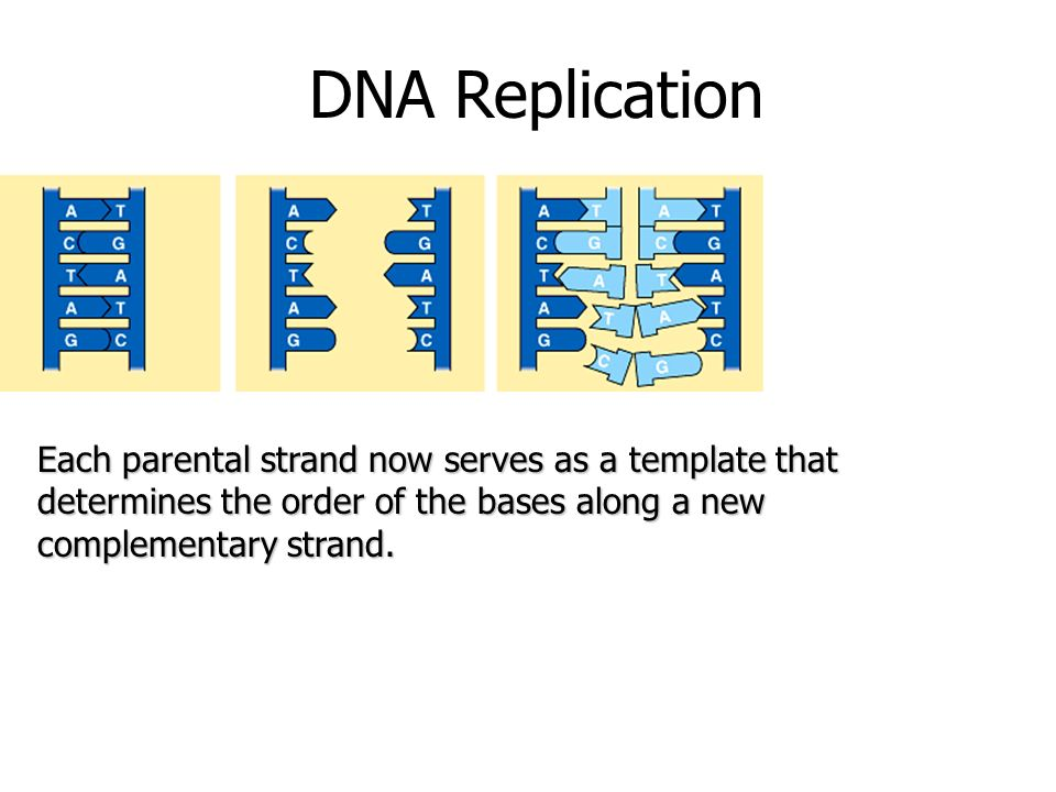 DNA Replication Each parental strand now serves as a template that determines the order of the bases along a new complementary strand.