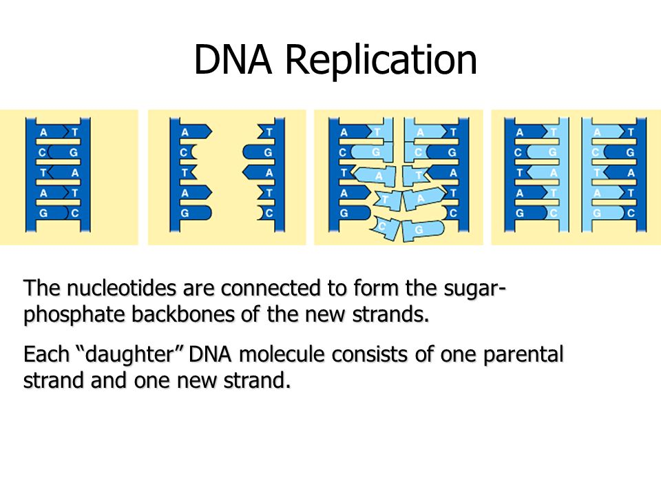 DNA Replication The nucleotides are connected to form the sugar-phosphate backbones of the new strands.