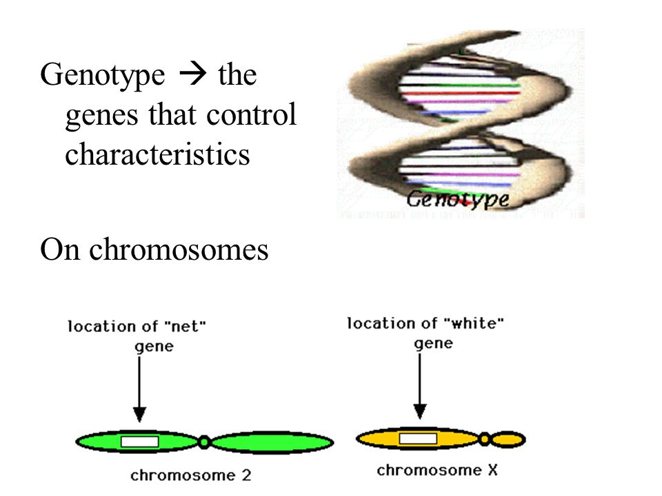 Genotype  the genes that control characteristics