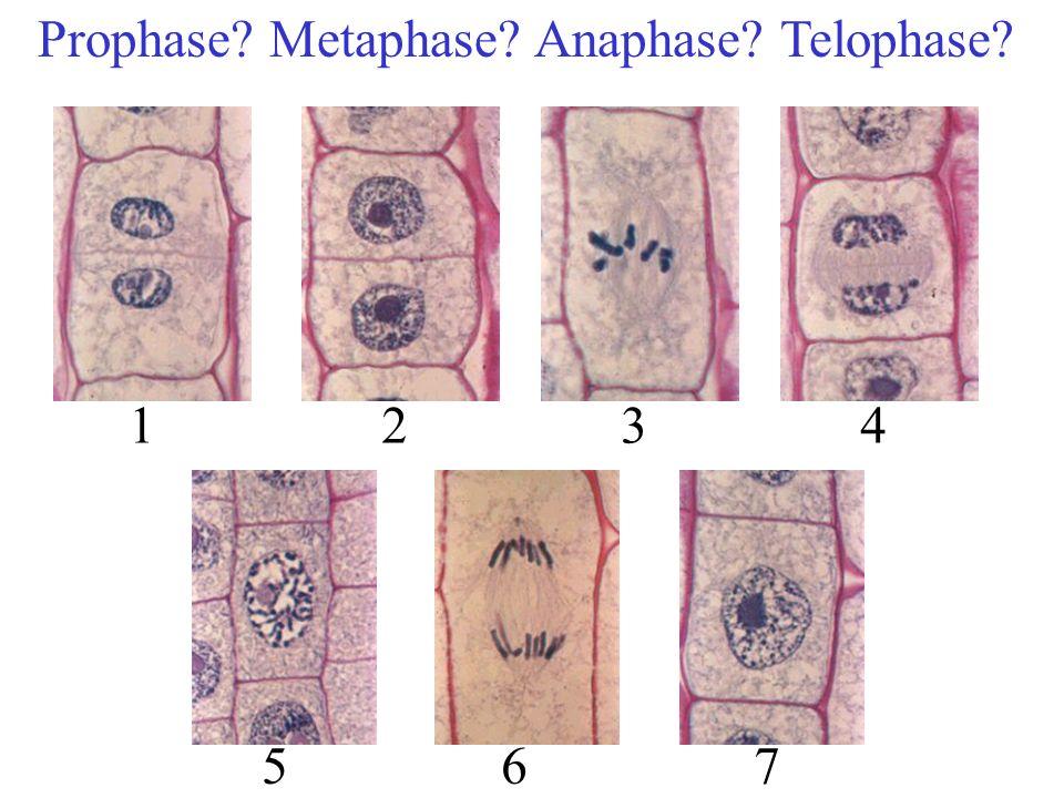 Prophase Metaphase Anaphase Telophase