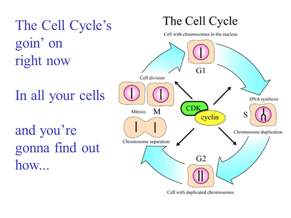 The Cell Cycle's goin' on
