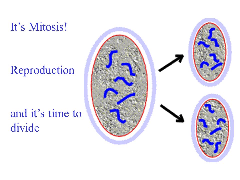 It's Mitosis! Reproduction and it's time to divide