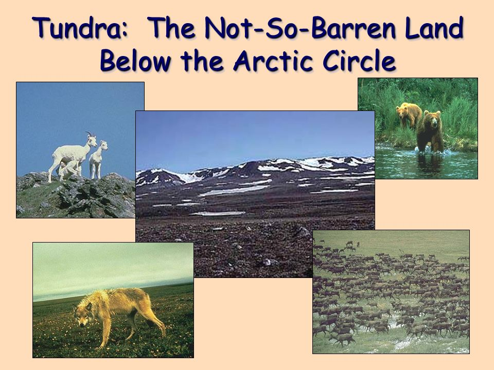 Tundra: The Not-So-Barren Land Below the Arctic Circle