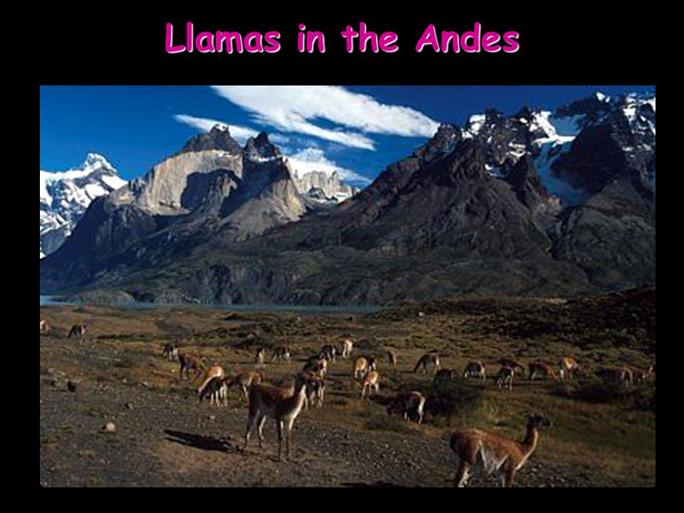 Llamas in the Andes