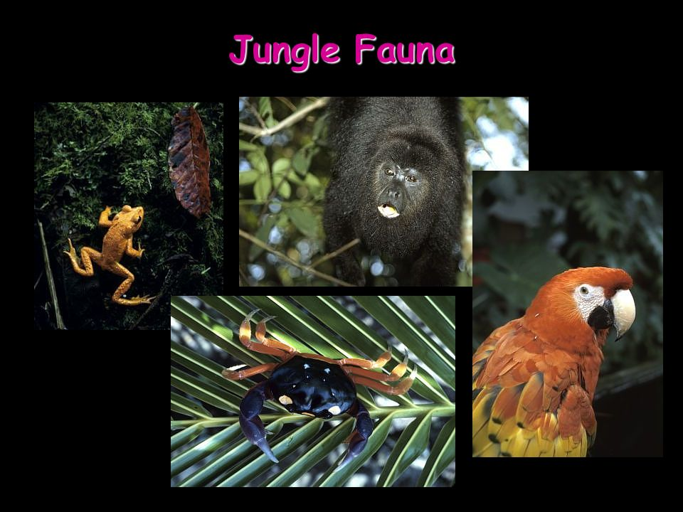 Jungle Fauna