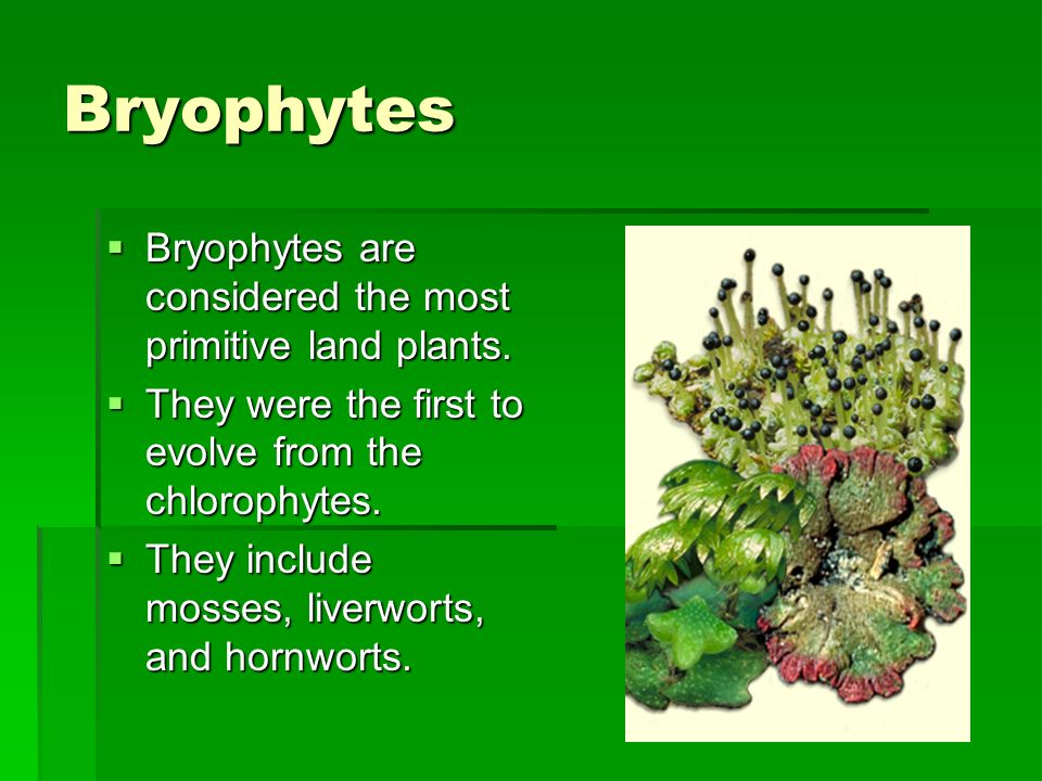 Bryophytes Bryophytes are considered the most primitive land plants.