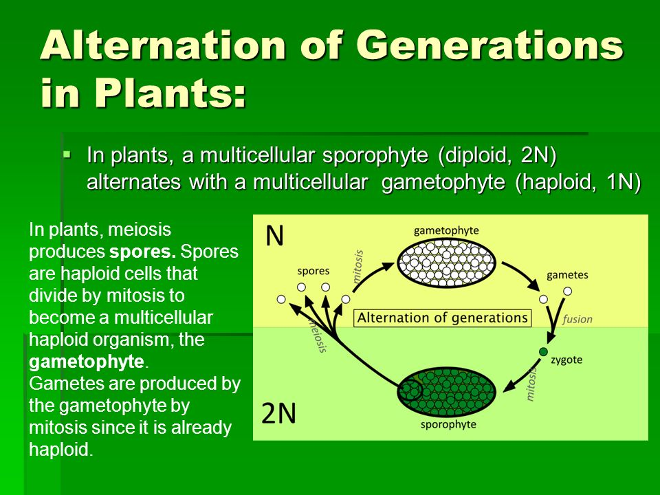 Alternation of Generations in Plants: