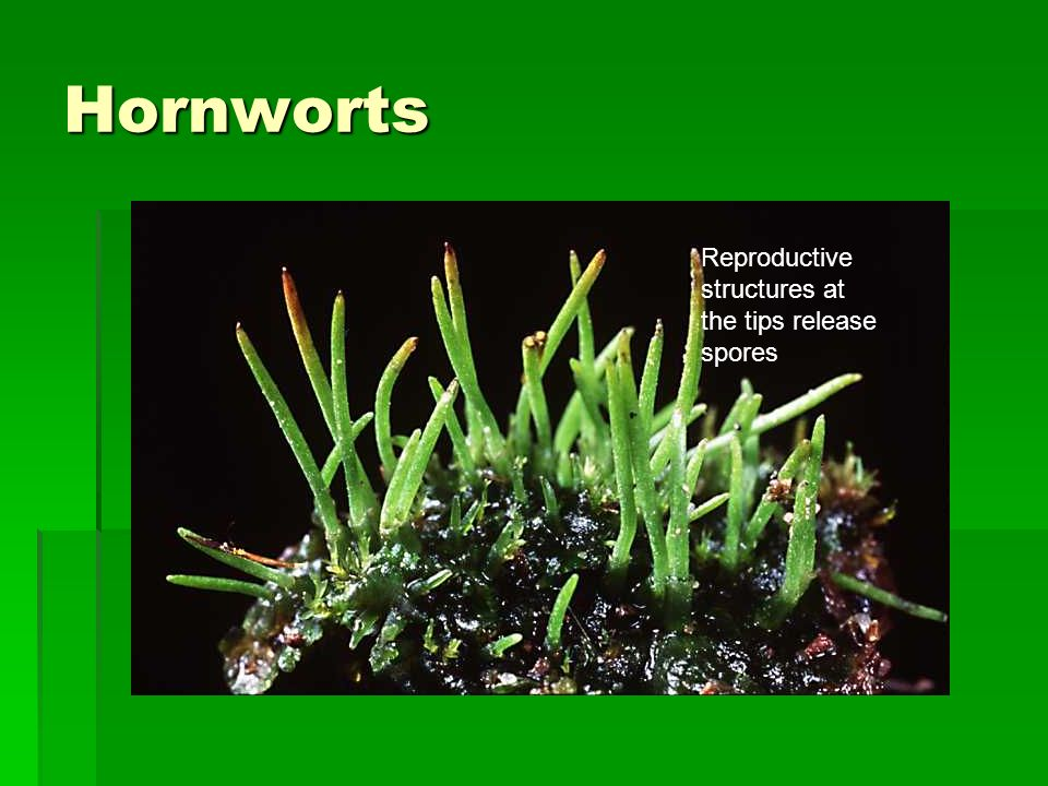 Hornworts Reproductive structures at the tips release spores