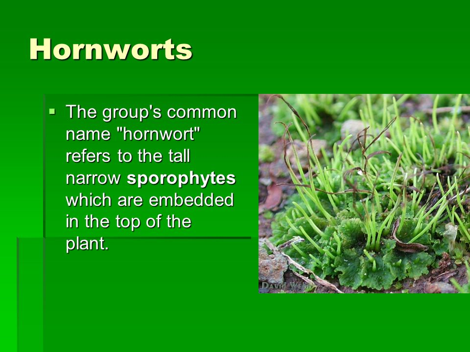 Hornworts The group s common name hornwort refers to the tall narrow sporophytes which are embedded in the top of the plant.
