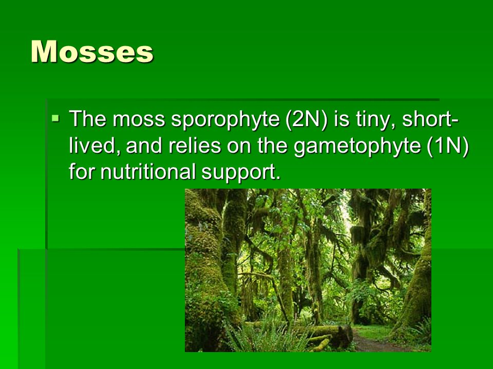 Mosses The moss sporophyte (2N) is tiny, short-lived, and relies on the gametophyte (1N) for nutritional support.