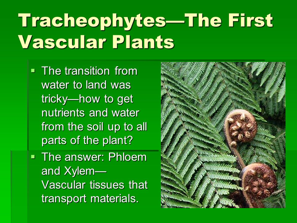 Tracheophytes—The First Vascular Plants