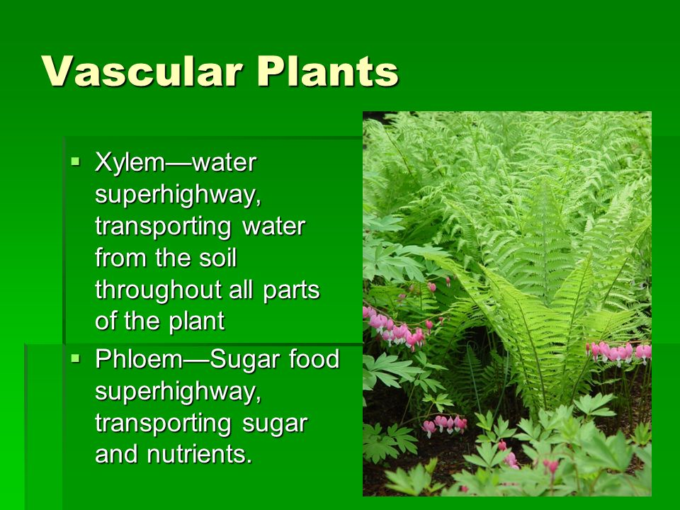 Vascular Plants Xylem—water superhighway, transporting water from the soil throughout all parts of the plant.