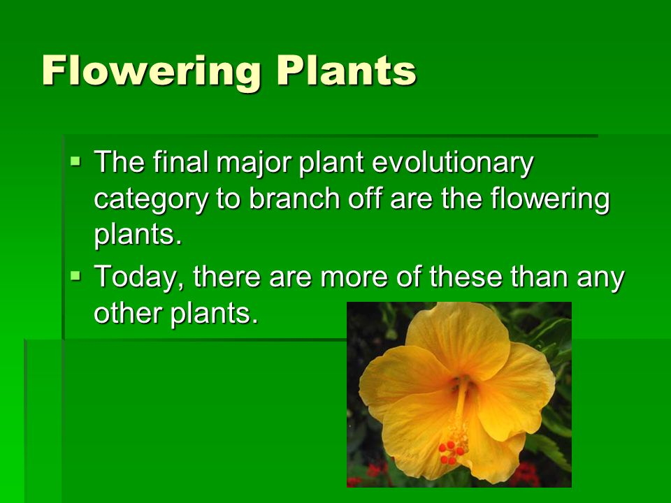 Flowering Plants The final major plant evolutionary category to branch off are the flowering plants.