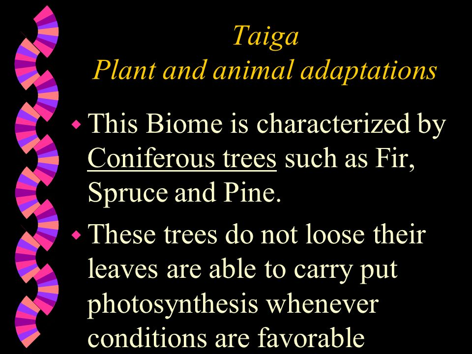 what adaptations do the pine trees have The national register of big trees lists a ponderosa pine that is 235 ft (72 m) tall  with differing botanical characters and adaptations to different climatic .