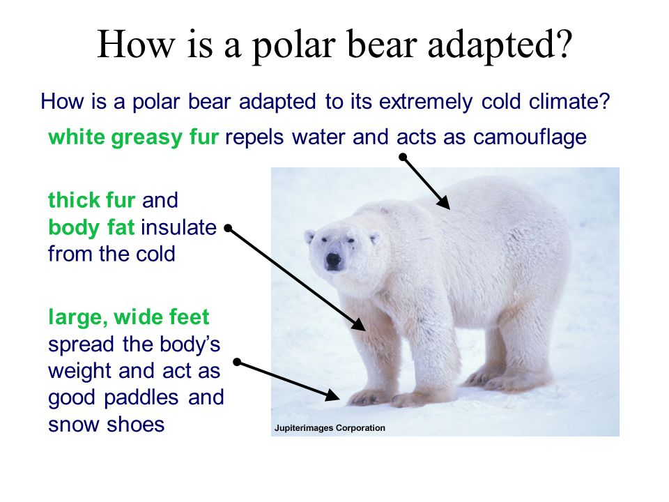 how camels and polar bears adapt Polar bears can obtain a swimming speed of 10 kph (62 mph) (stirling, 1988) 5 the hair of a polar bear easily shakes free of water and any ice that may form after swimming.