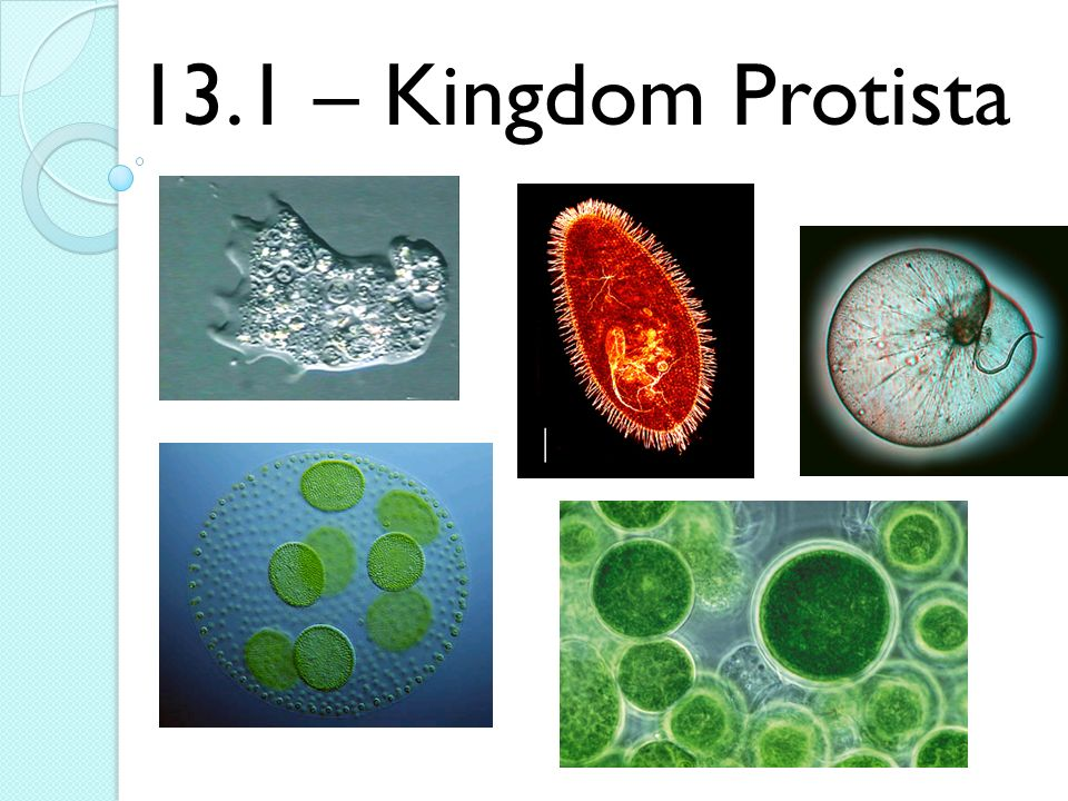 kingdom protista Kingdom protista members of the kingdom protista are the simplest of the eukaryotes protists are an unusual group of organisms that were put together because they don't really seem to belong to.
