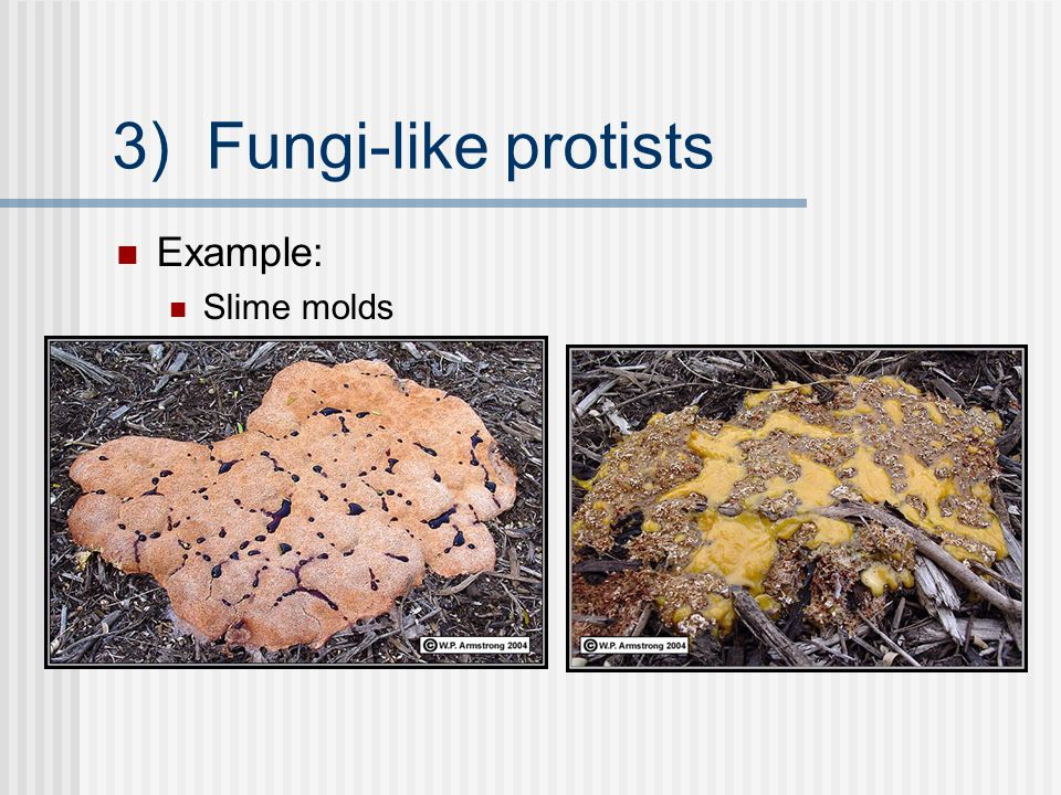 Kingdom Protista Kingdom Fungi - ppt video online download