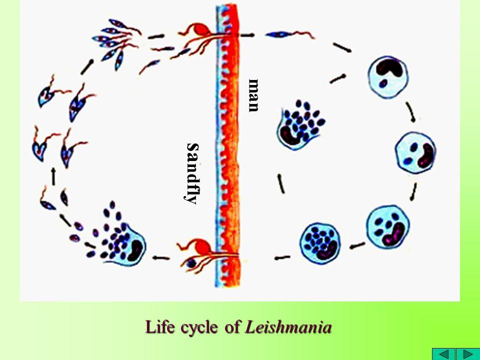 binary fission in leishmania - photo #39