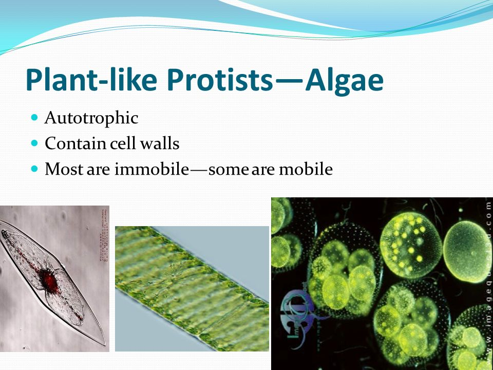 Kingdom Protista. - ppt video online download Brown Algae Kelp
