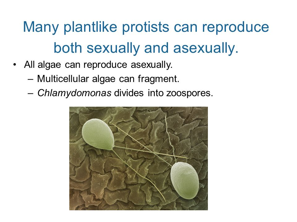 Many plantlike protists can reproduce both sexually and asexually.