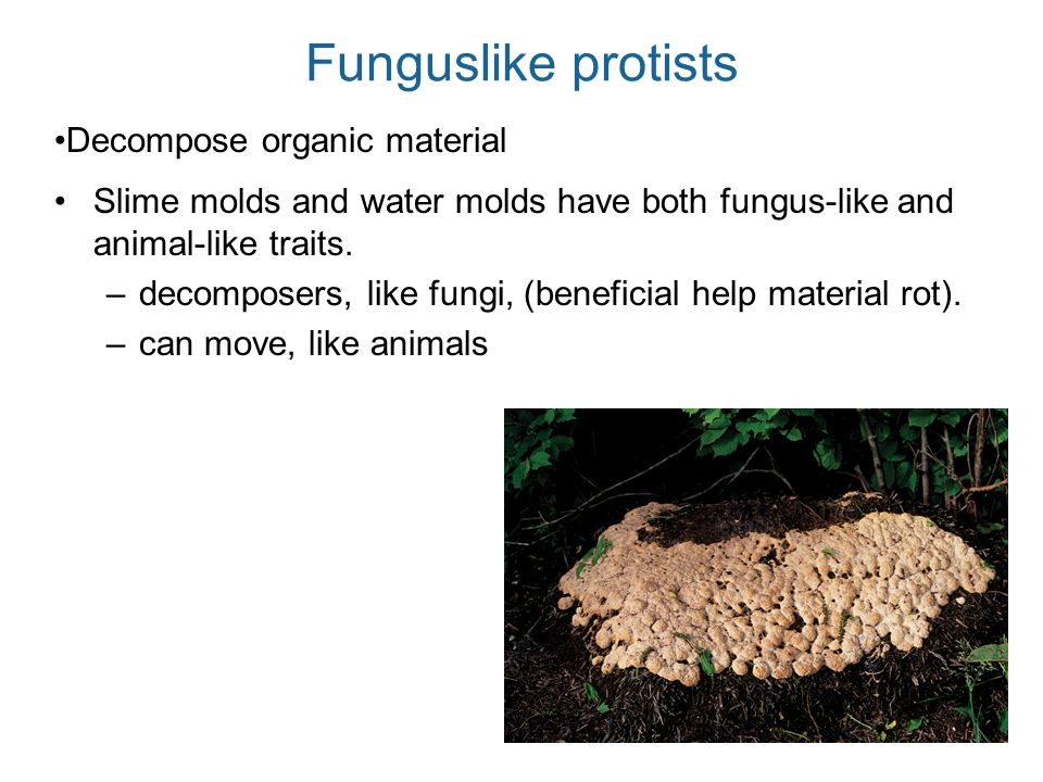 Funguslike protists Decompose organic material