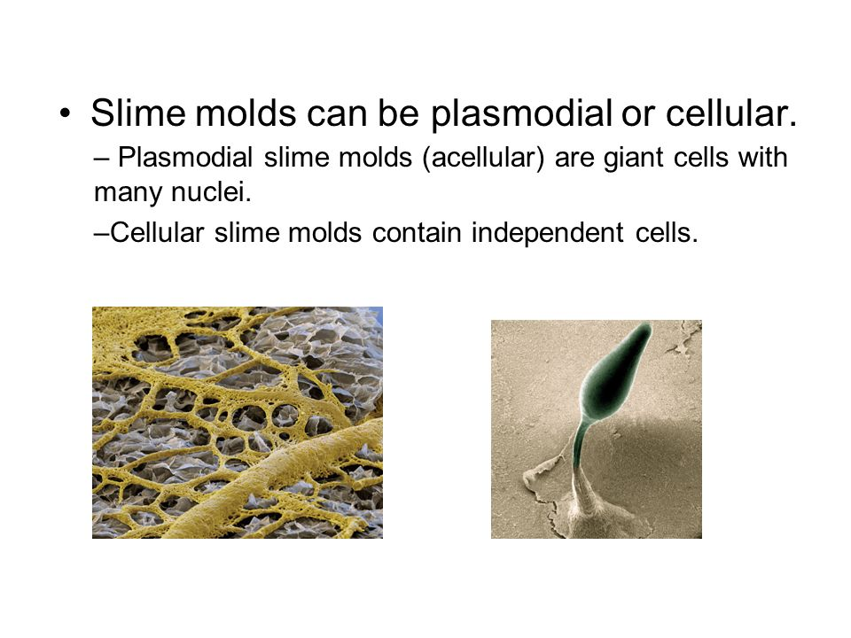 Slime molds can be plasmodial or cellular.