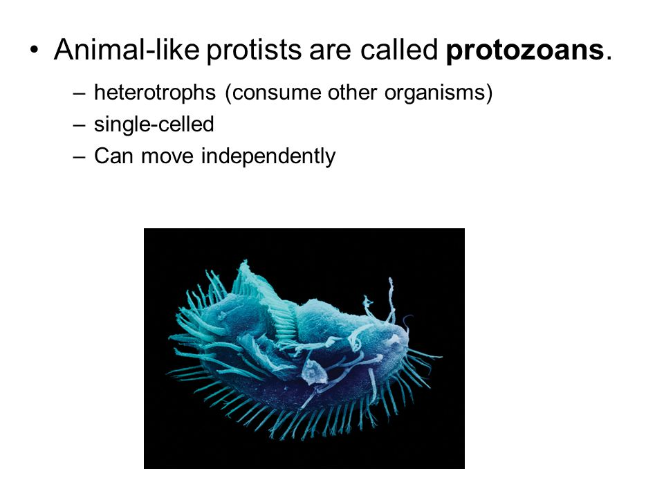 Animal-like protists are called protozoans.