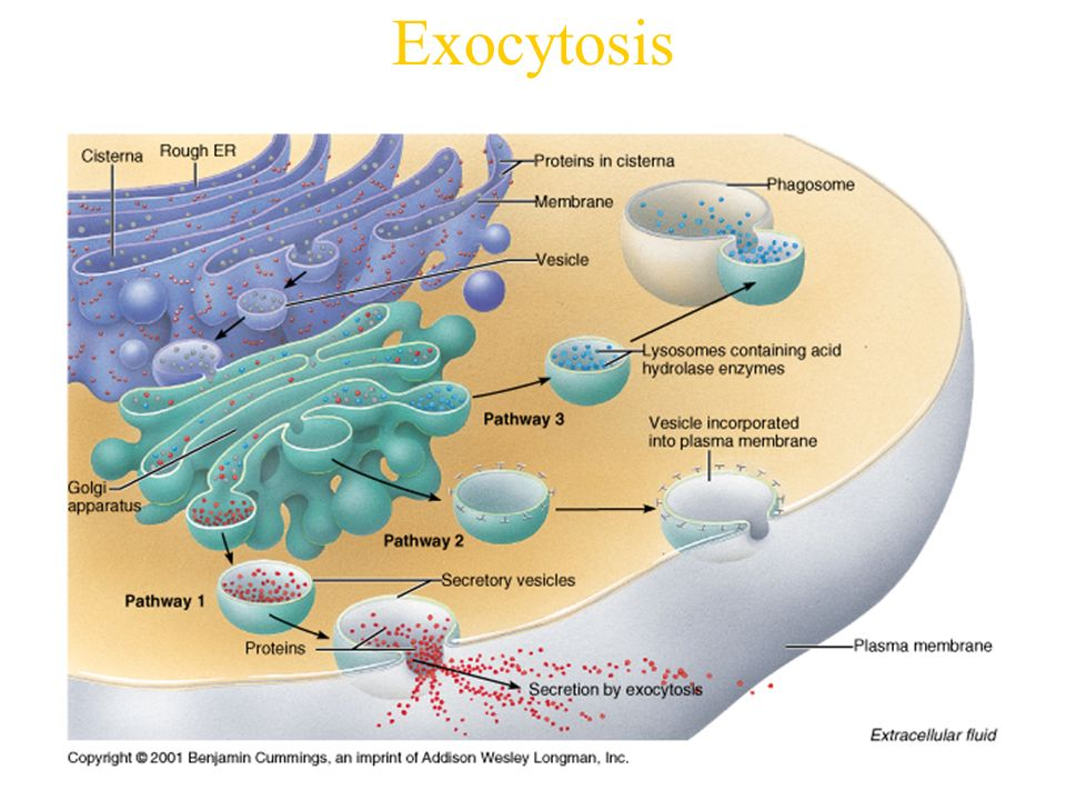 Ch 3: Compartmentation: Cells & Tissues - ppt video online ...  Ch 3: Compartme...