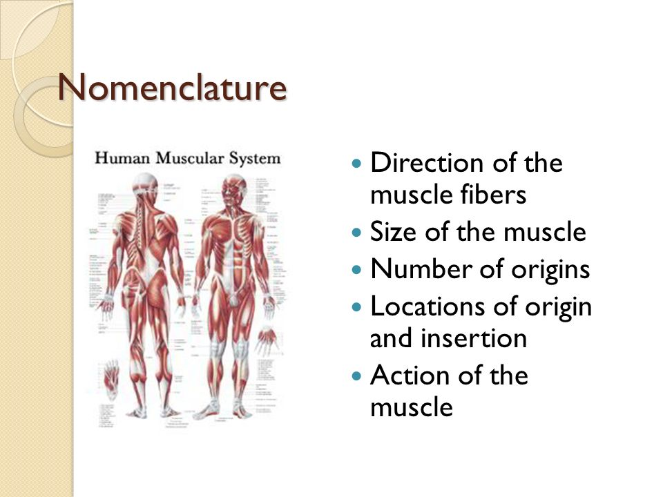 skeletal muscle purposeful movement works with nervous system, Muscles