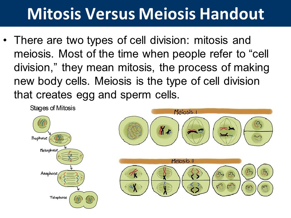 an introduction to the process of cell division called mitosis Mitosis - the process of cell division via mitosis mitosis is defined as the type of cell division by which a single cell divides in such a way as to produce two genertically identical.