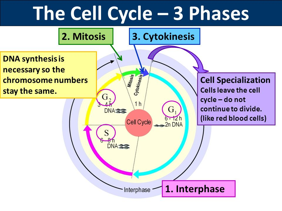 mitosis and protein synthesis Mitosis is the process  is controlled primarily by regulating the initiation of dna synthesis, entry into mitosis,  some of the protein components of.