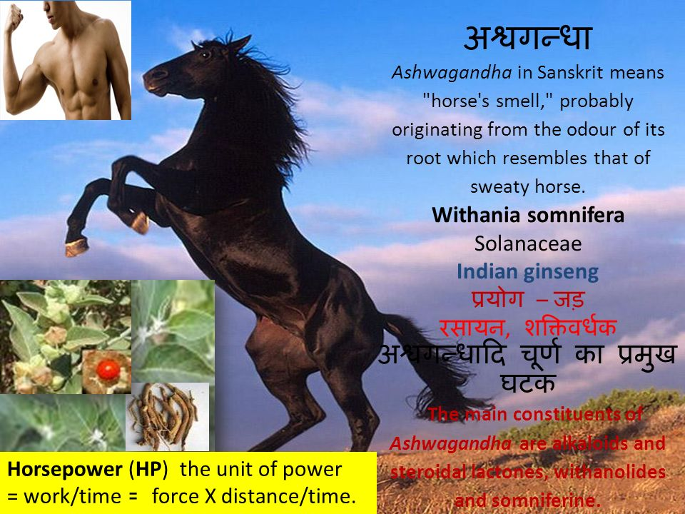 अश्वगन्धा Ashwagandha in Sanskrit means horse s smell, probably originating from the odour of its root which resembles that of sweaty horse. Withania somnifera Solanaceae Indian ginseng प्रयोग – जड़ रसायन, शक्तिवर्धक अश्वगन्धादि चूर्ण का प्रमुख घटक The main constituents of Ashwagandha are alkaloids and steroidal lactones, withanolides and somniferine.