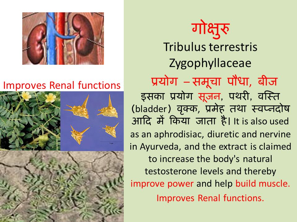गोक्षुरु Tribulus terrestris Zygophyllaceae प्रयोग – समूचा पौधा, बीज इसका प्रयोग सूजन, पथरी, वस्ति (bladder) वृक्क, प्रमेह तथा स्वप्नदोष आदि में किया जाता है। It is also used as an aphrodisiac, diuretic and nervine in Ayurveda, and the extract is claimed to increase the body s natural testosterone levels and thereby improve power and help build muscle. Improves Renal functions.