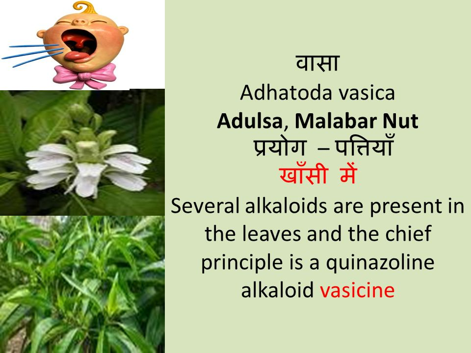 वासा Adhatoda vasica Adulsa, Malabar Nut प्रयोग – पत्तियाँ खाँसी में Several alkaloids are present in the leaves and the chief principle is a quinazoline alkaloid vasicine