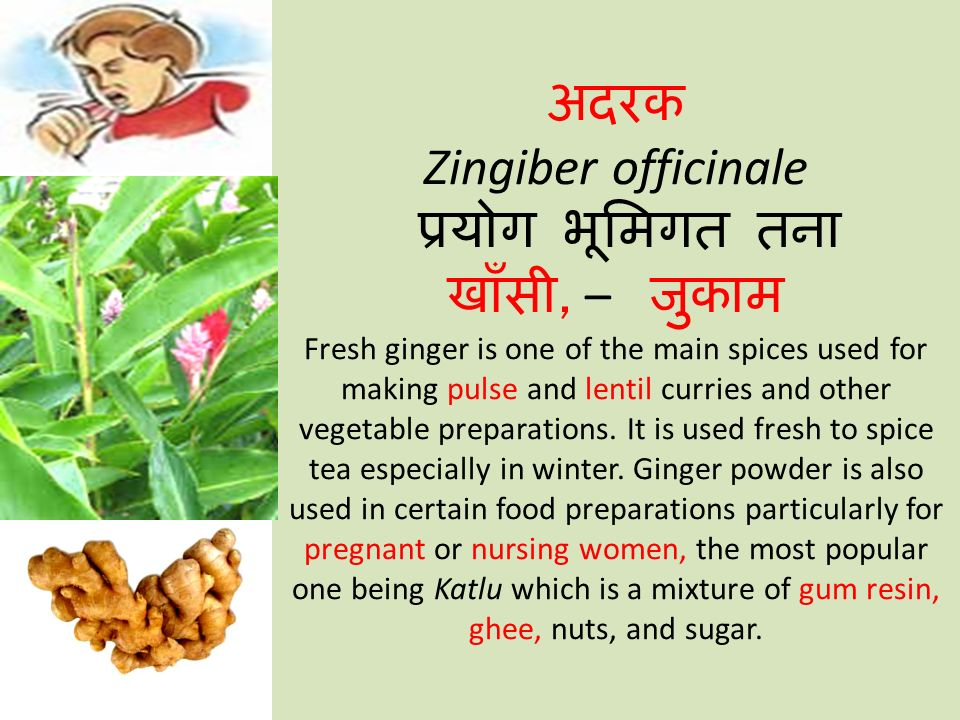 अदरक Zingiber officinale प्रयोग भूमिगत तना खाँसी, – जुकाम Fresh ginger is one of the main spices used for making pulse and lentil curries and other vegetable preparations.
