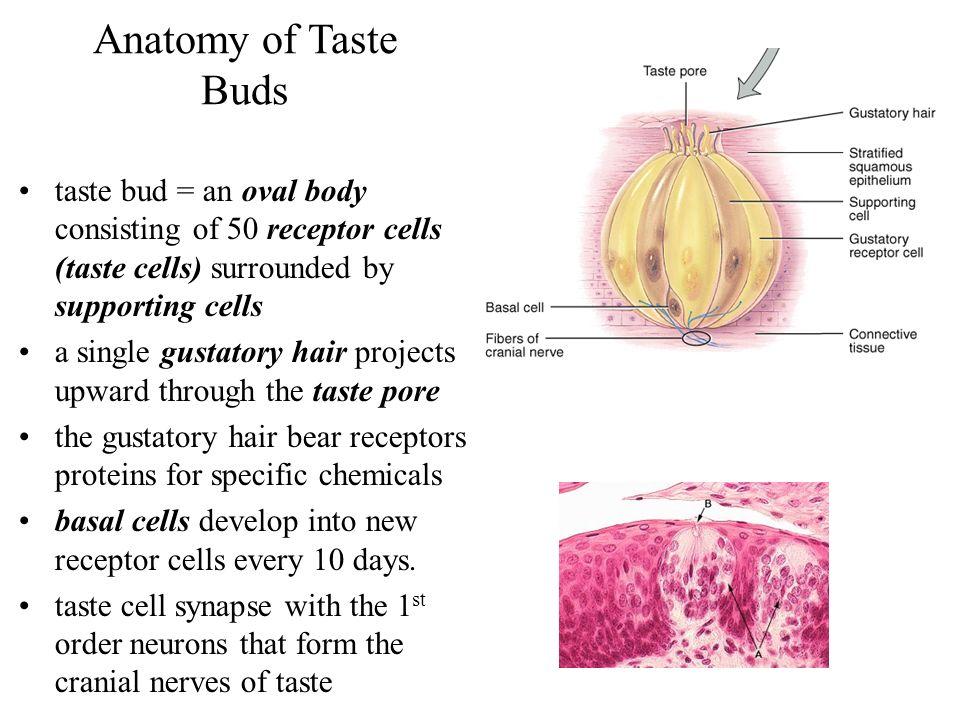 Anatomy of taste buds 4765443 - follow4more.info