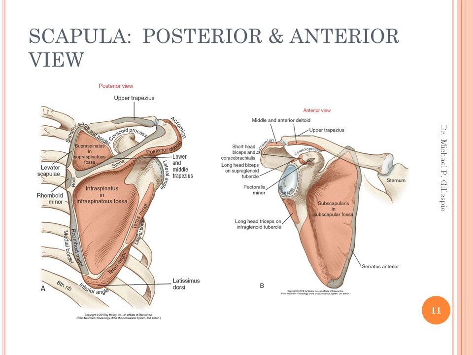 SHOULDER COMPLEX Dr. Michael P. Gillespie. - ppt download