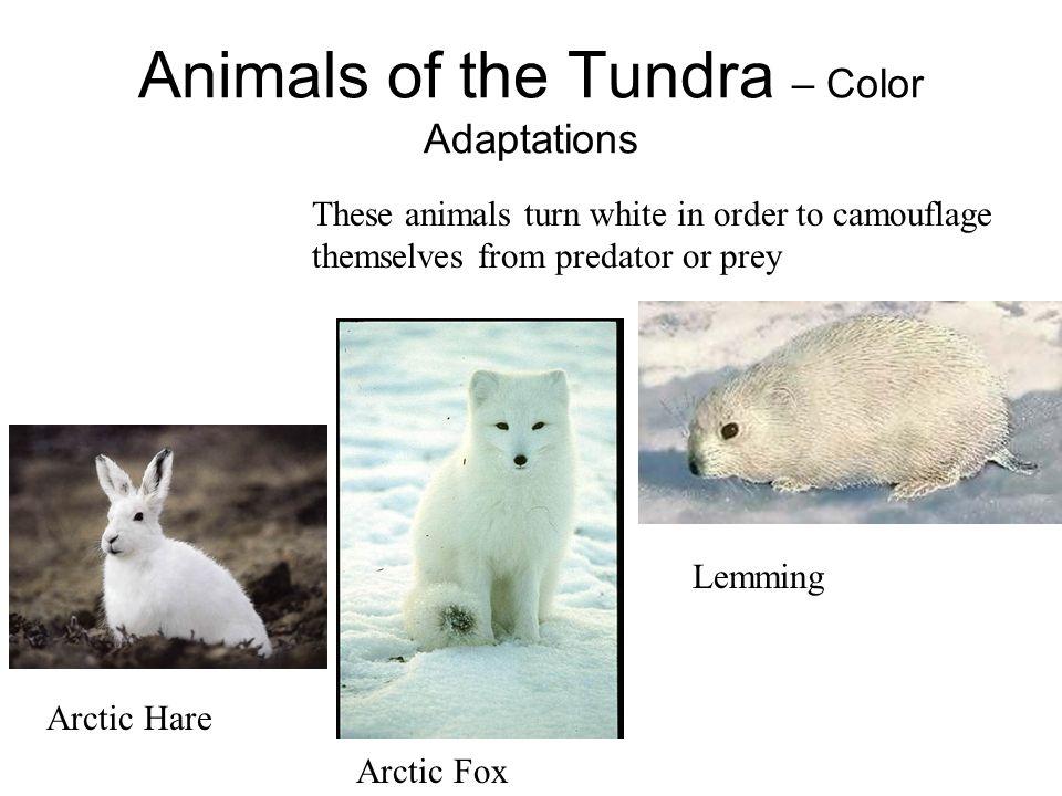 Tundra Arctic Fox In Summer Polar Landscapes. - pp...