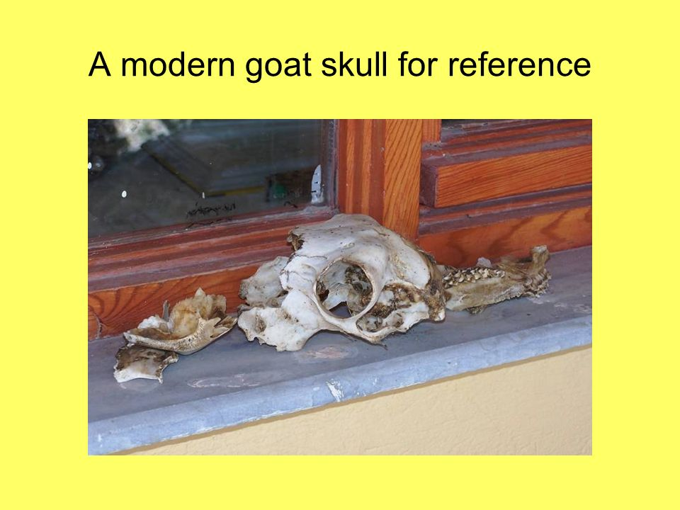 A modern goat skull for reference